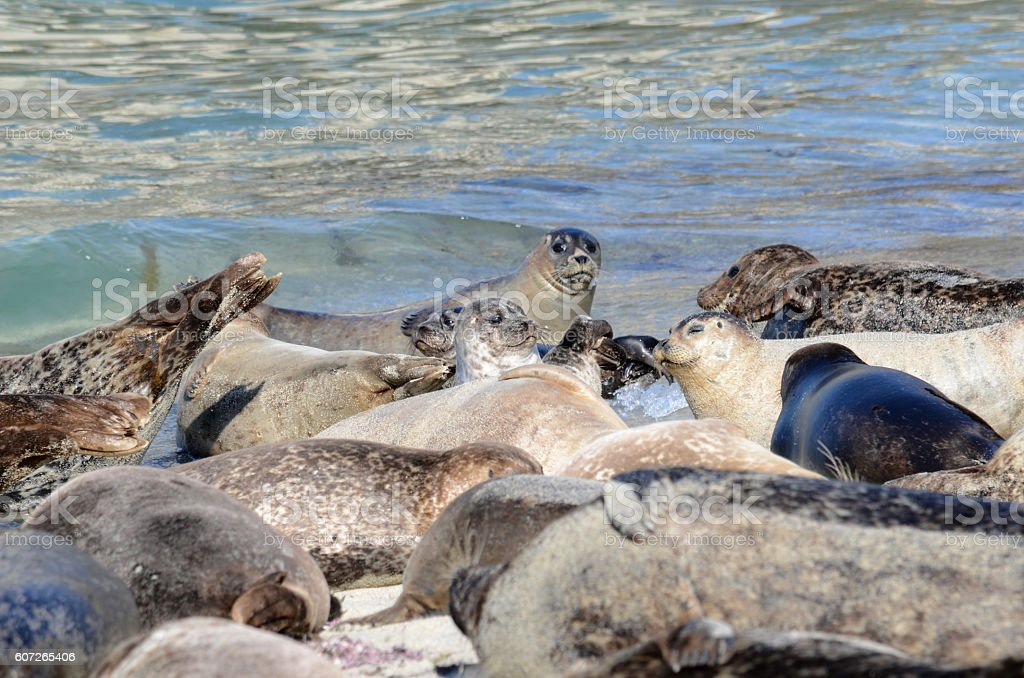 Seals in California stock photo