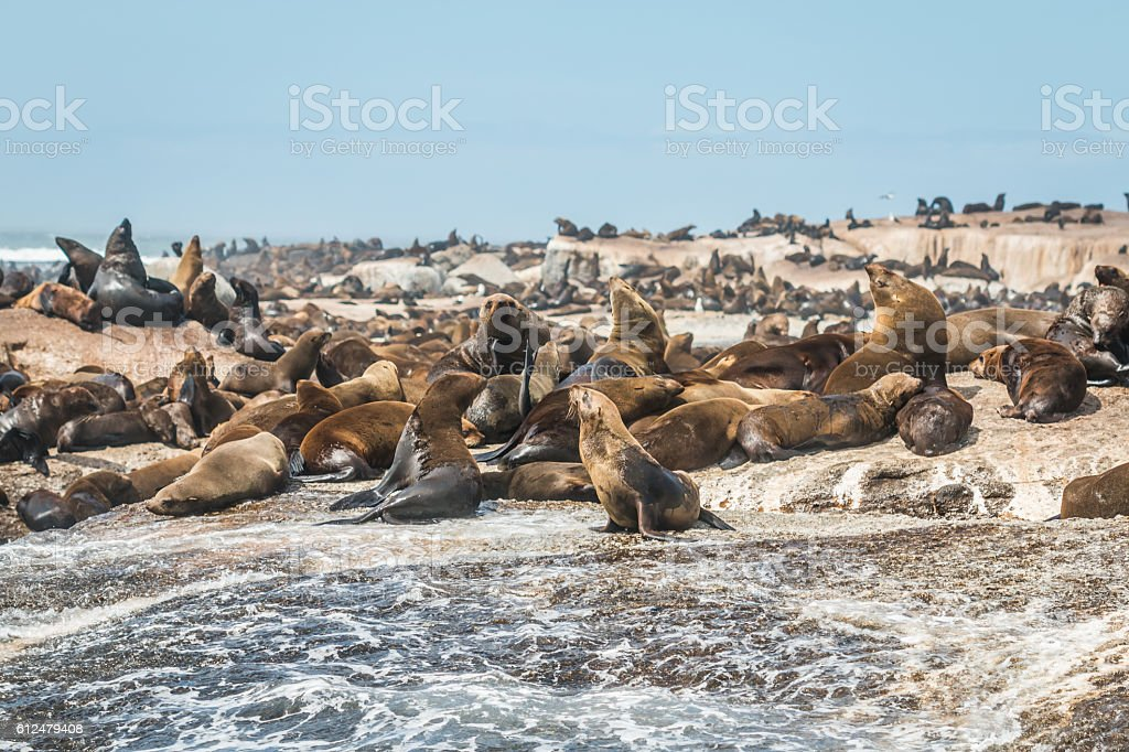 Seals in Cape Town South Africa stock photo