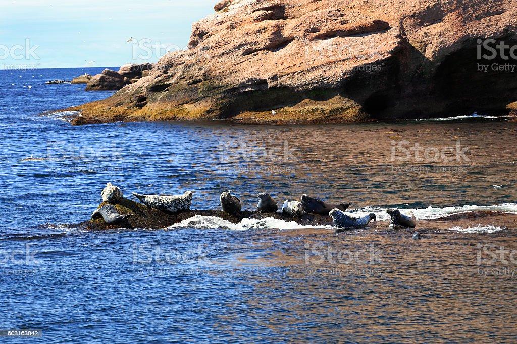 Seals near Bonaventure Island in Gaspesie, Quebec stock photo