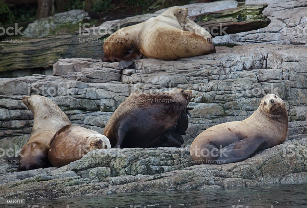 Seals off Vancouver Island stock photo
