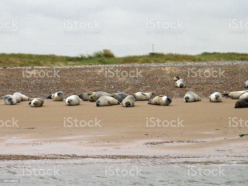 Seals on a beach stock photo