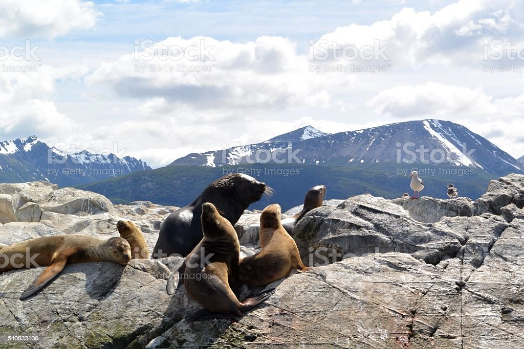 Seals on a rock with the Andes mountains in the background stock photo