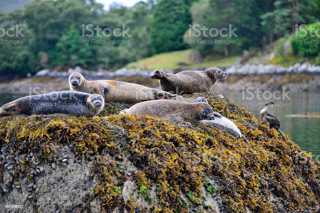 Seals on Garnish Island stock photo