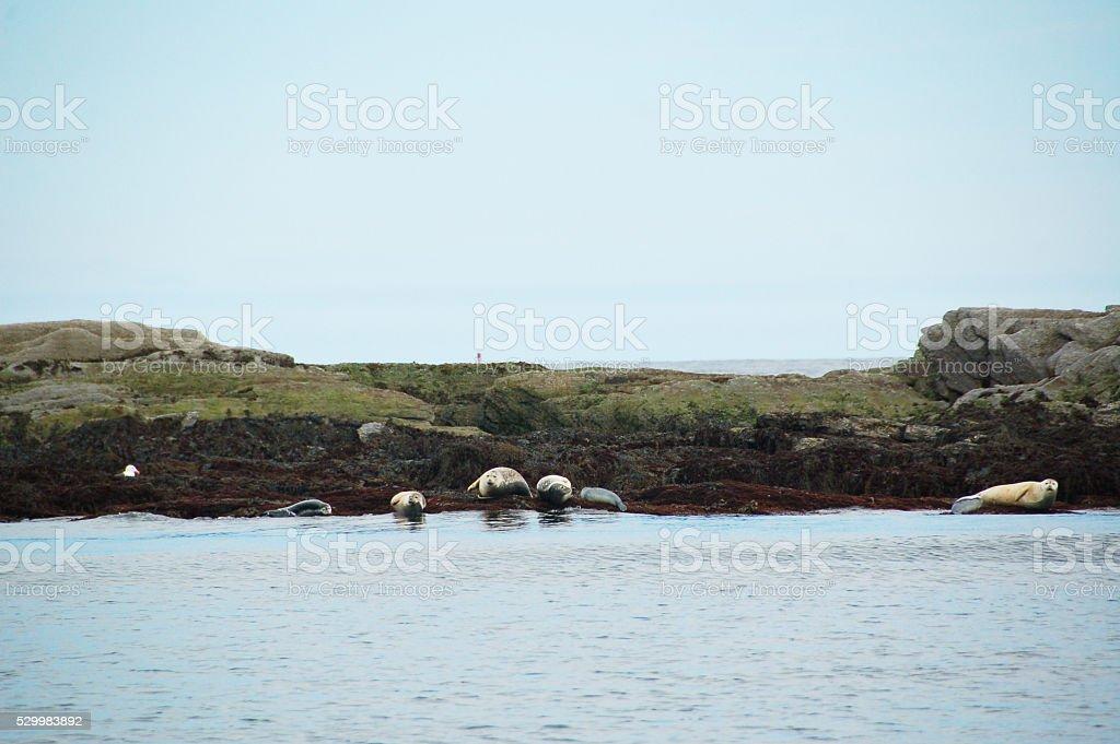 Seals on Maine Coast stock photo