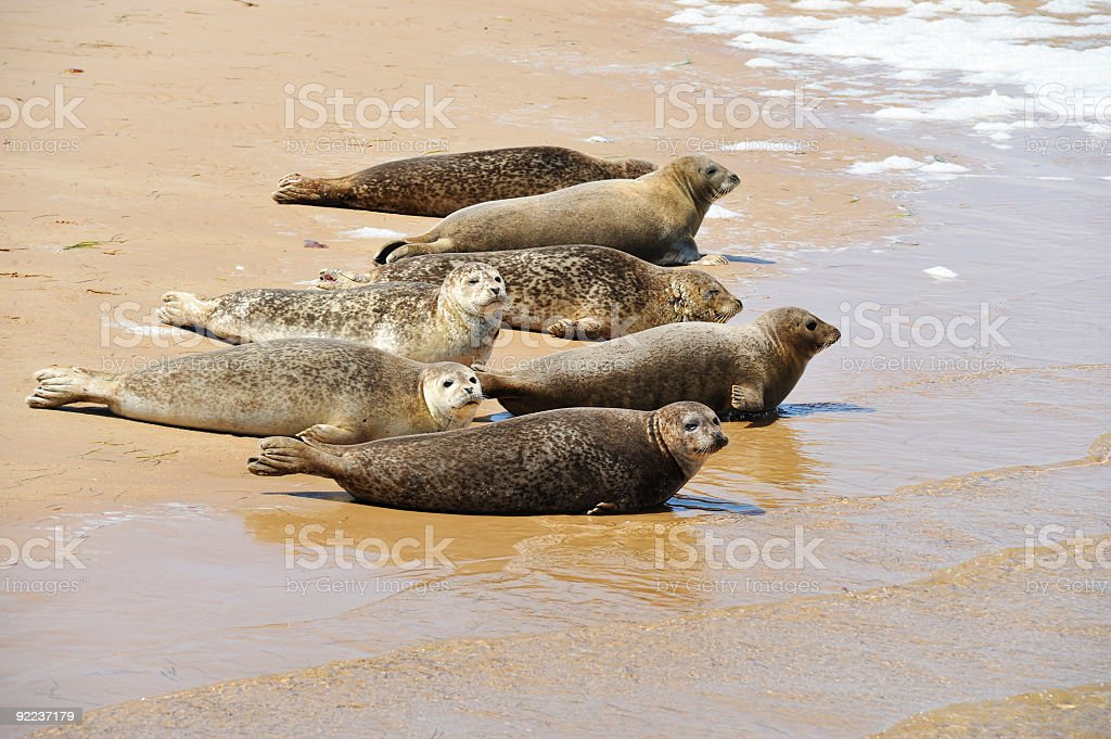 Seals on the beach royalty-free stock photo