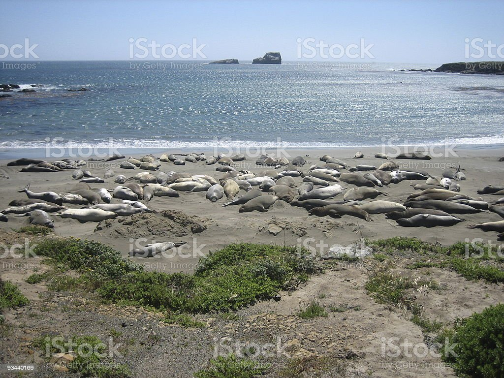 Robben am Strand royalty-free stock photo