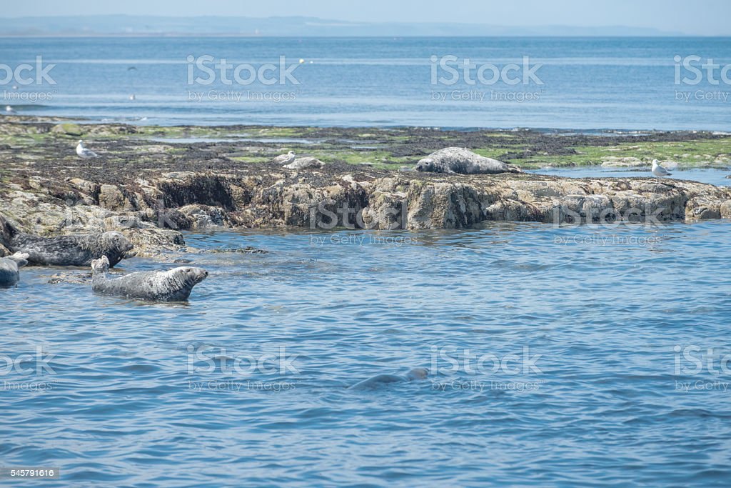 Seals on the Farne islands, Northumberland UK stock photo