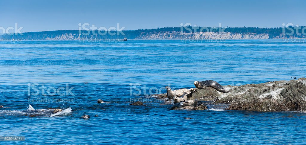 Seals on the in Vancouver island stock photo