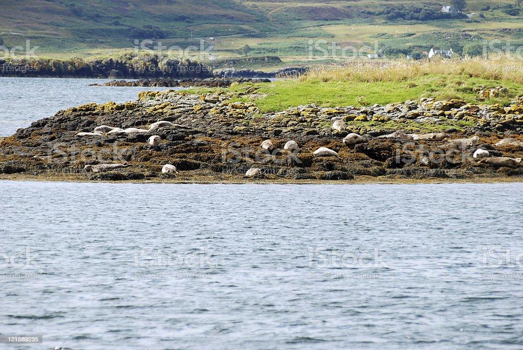 Seals on the Isle of Skye, Scotland royalty-free stock photo