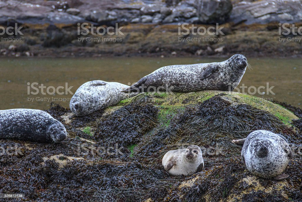 Seals on the rock stock photo