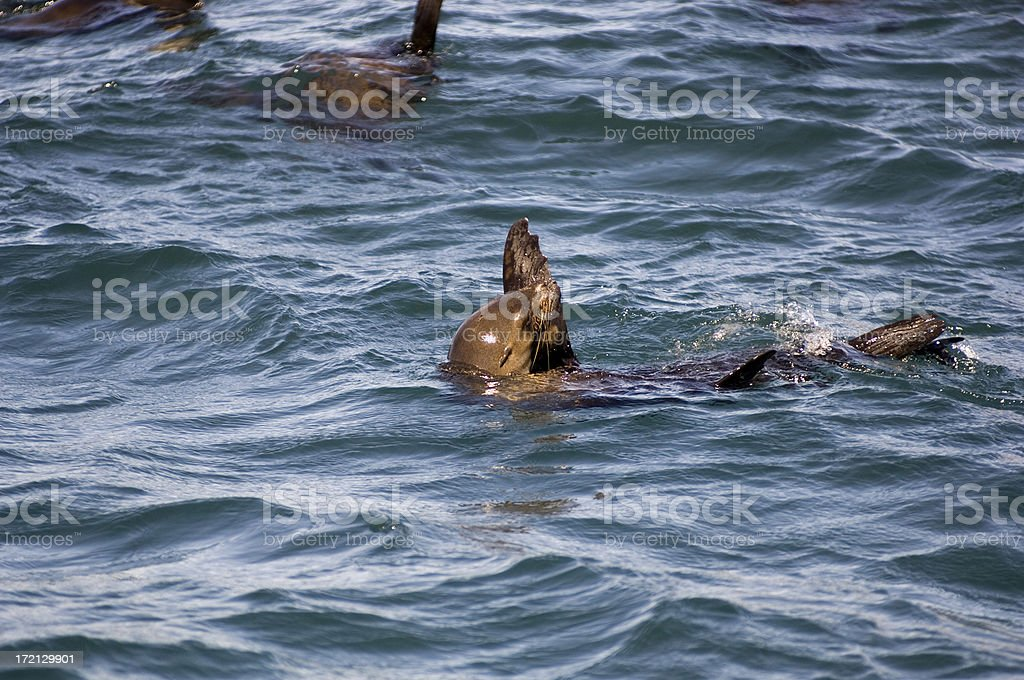 Seals royalty-free stock photo