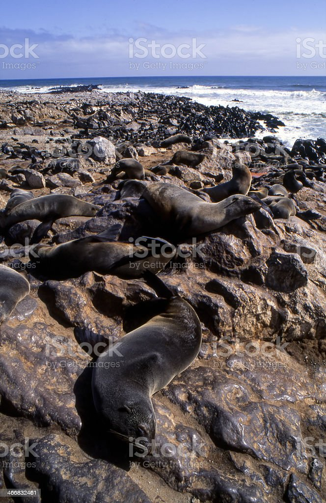 seals royalty-free stock photo