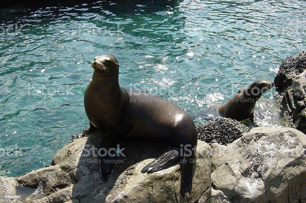 Seals (1) royalty-free stock photo
