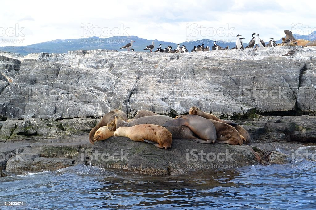 Seals relaxing on a rock next to seabirds stock photo