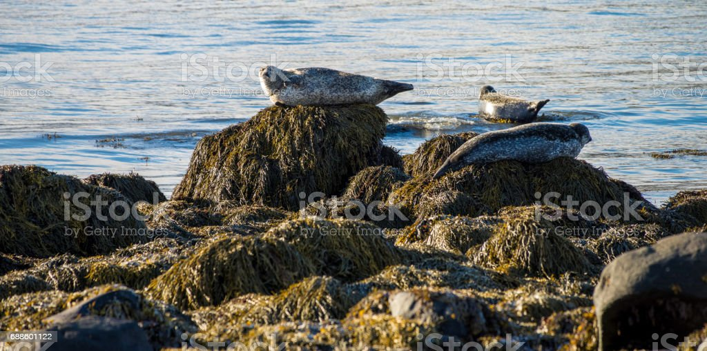 Seals resting in Ytri Tunga beach in Iceland stock photo