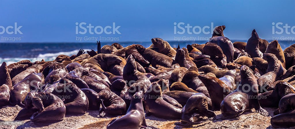 Seals seen on Duiker Island, South Africa stock photo