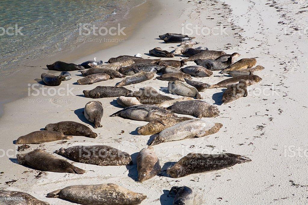 Seals Sunning stock photo