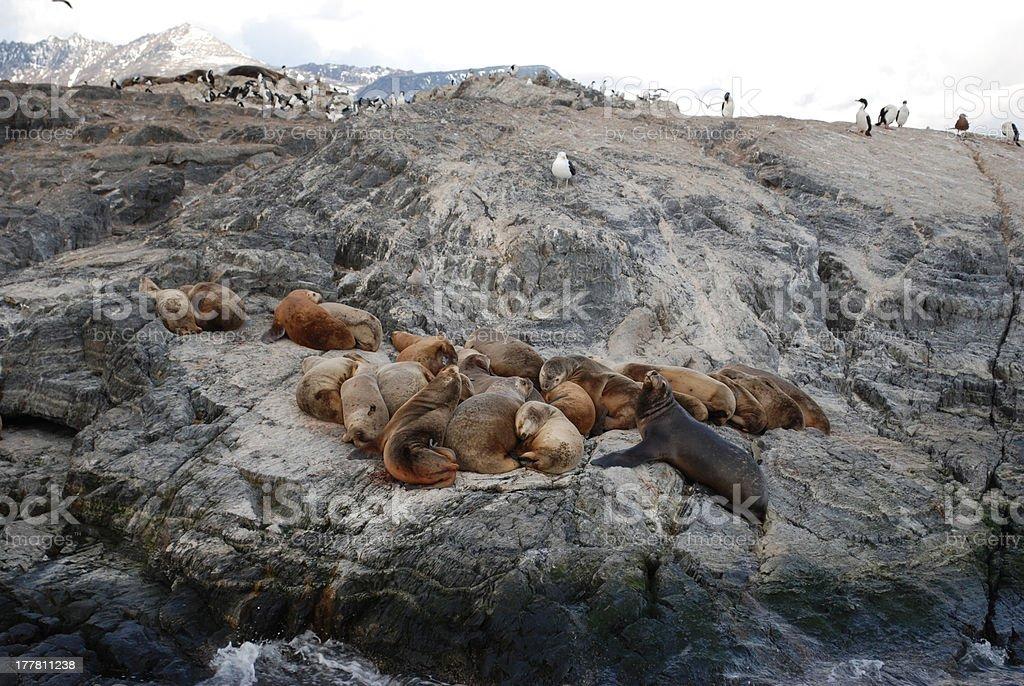 seals taking a nap, Tierra del Fuego royalty-free stock photo