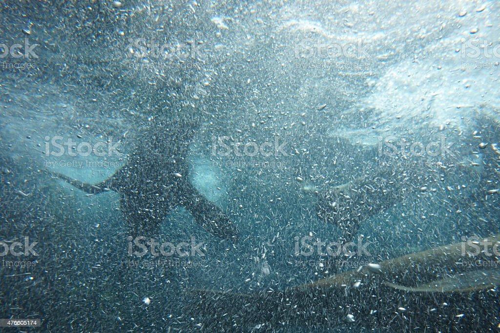 Seals underwater stock photo