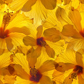 seamless background with yellow hibiscus