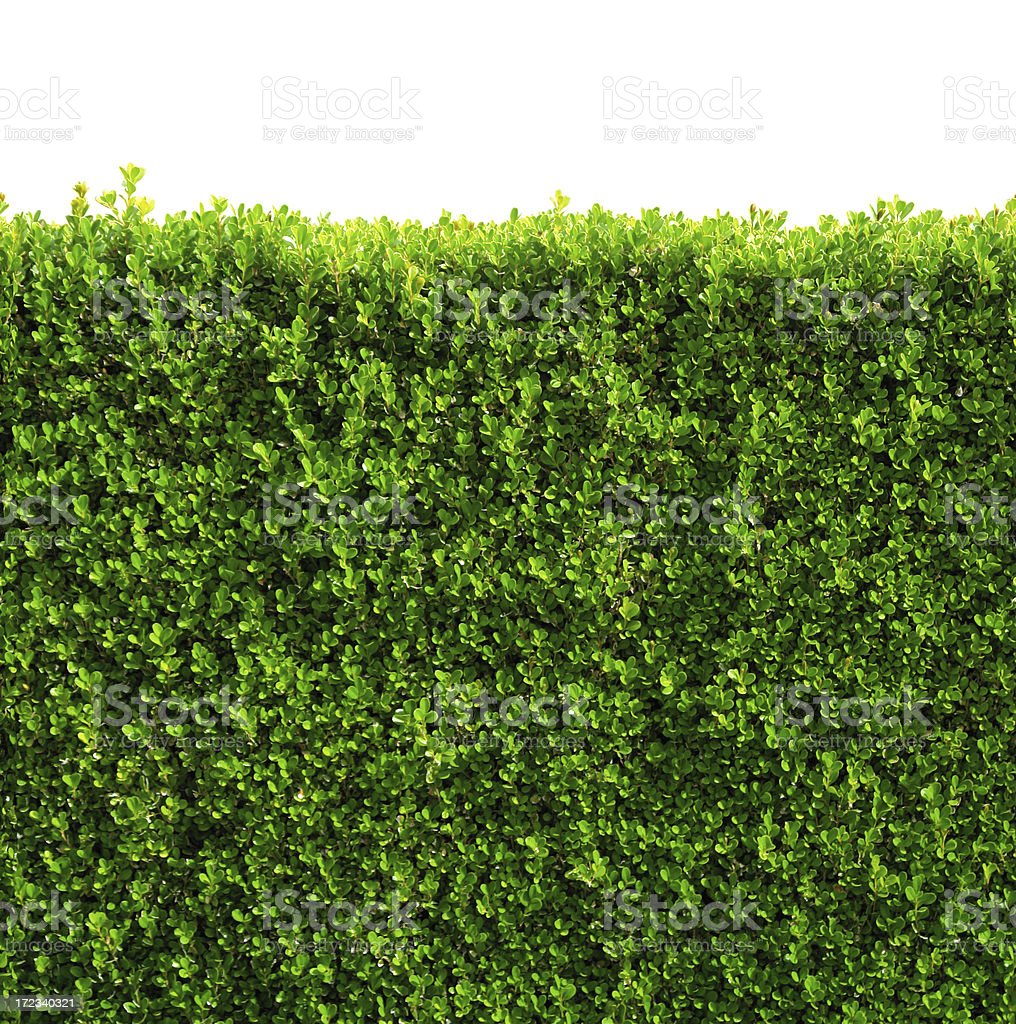 Seamless box hedge with green leafs isolated / clipping-path stock photo