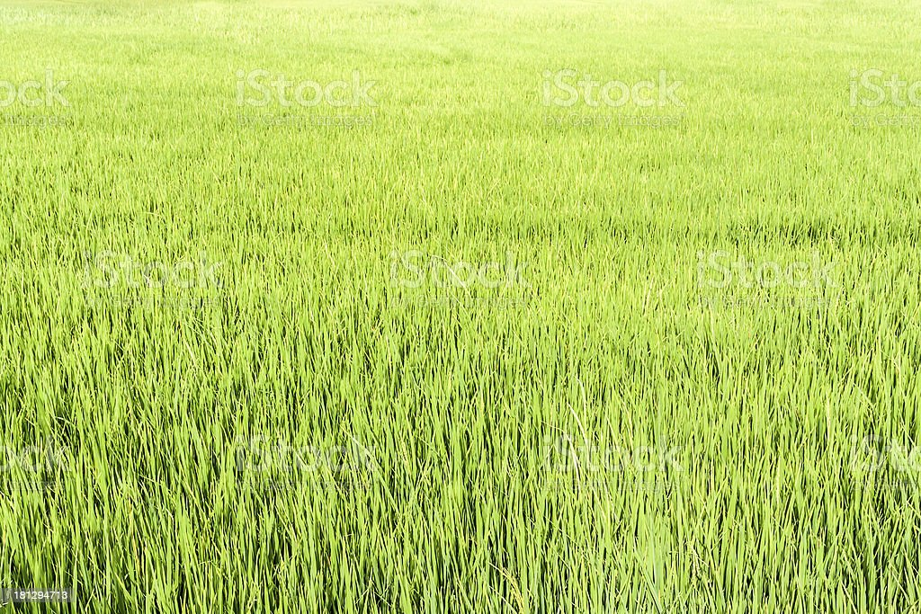 Seamless green rice plant royalty-free stock photo