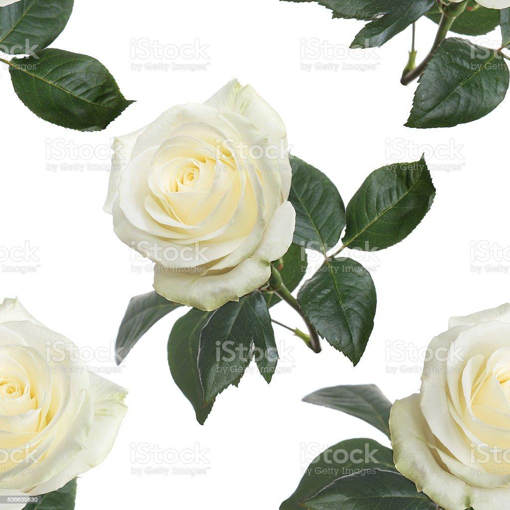 seamless pattern fresh white roses stock photo