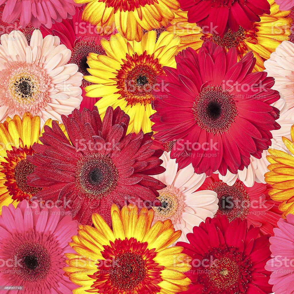 Seamless Pattern from Vibrant Gerbera Flowers stock photo
