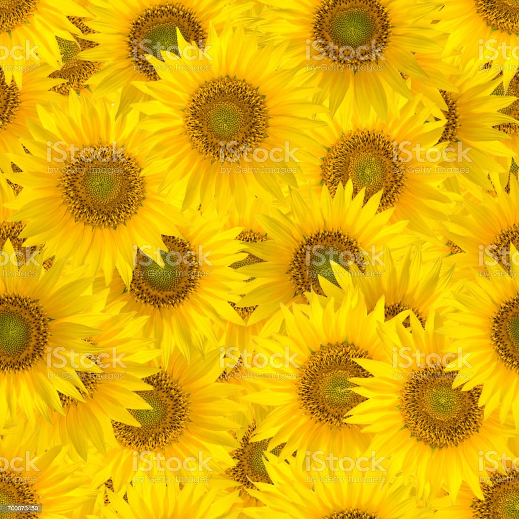 Seamless pattern with big bright sunflowers. stock photo