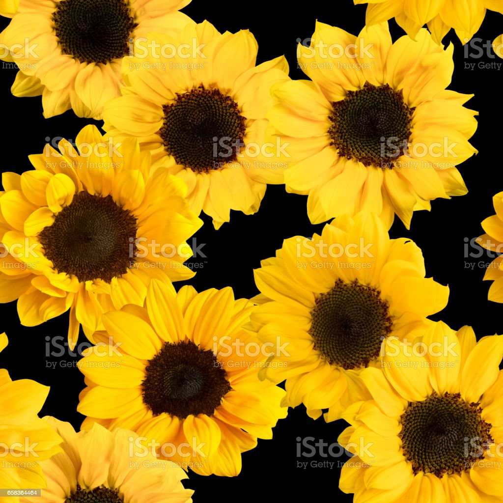 Seamless pattern with photos of shiny yellow sunflowers on black stock photo