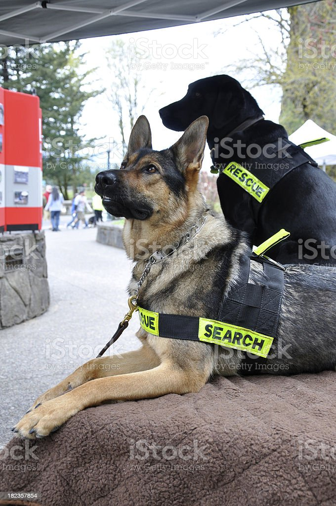 Search and Rescue Dogs stock photo