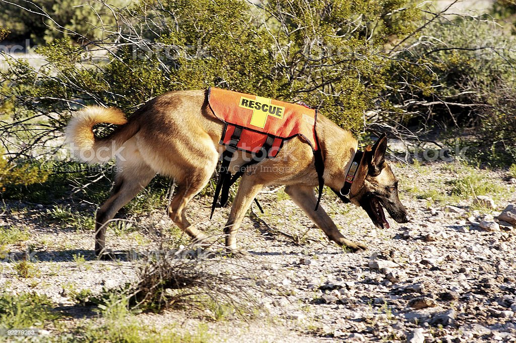 A search dog looking for a trail stock photo