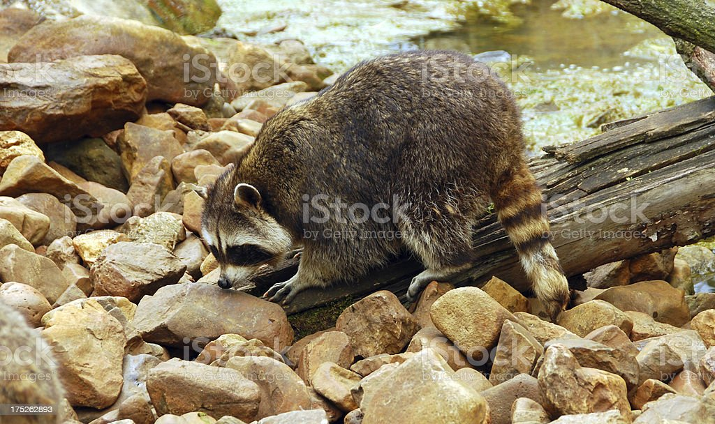 Searching Raccoon between the rocks. royalty-free stock photo
