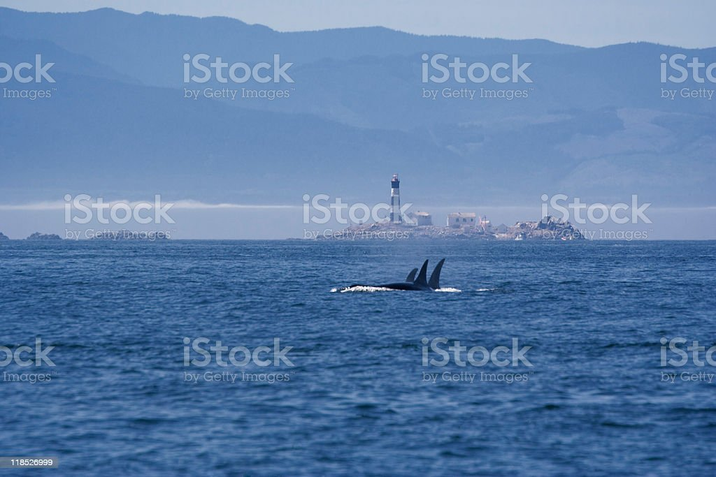 Seascape with Pod of Killer Whales stock photo