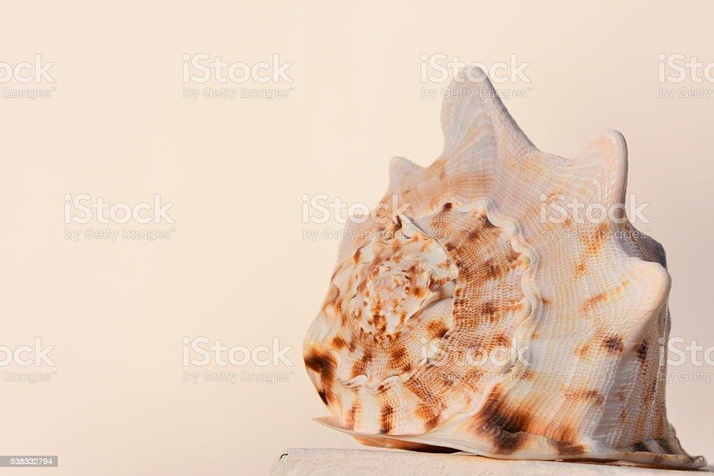 Seashell isolated on a white background stock photo