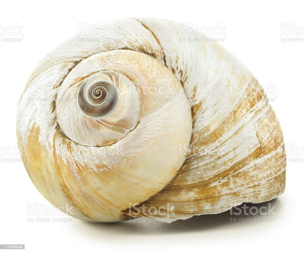 Seashell royalty-free stock photo