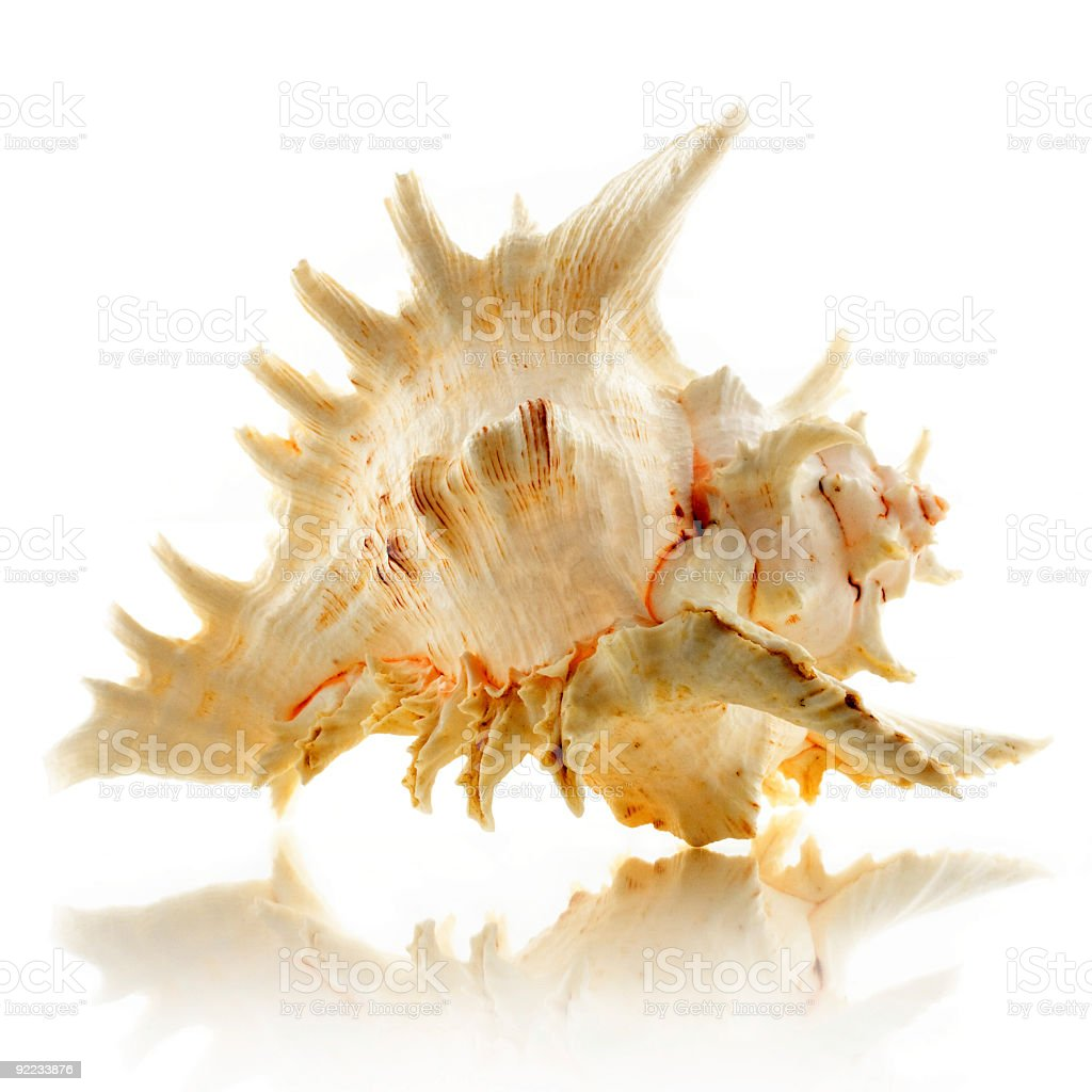 Seashell (Chicoreus Ramosus aka Ramose Murex) stock photo