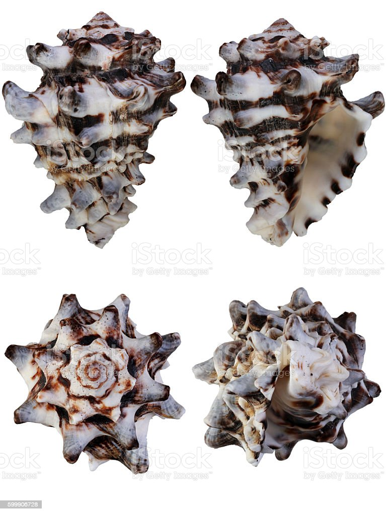 Seashell Vasum turbinellus or horned heavy whelk various angles isolated stock photo