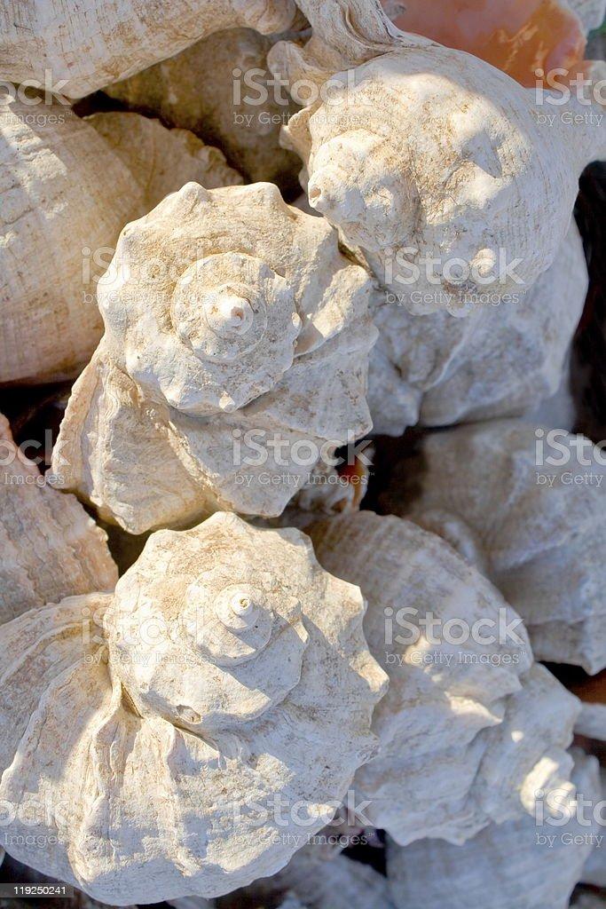Seashells. royalty-free stock photo