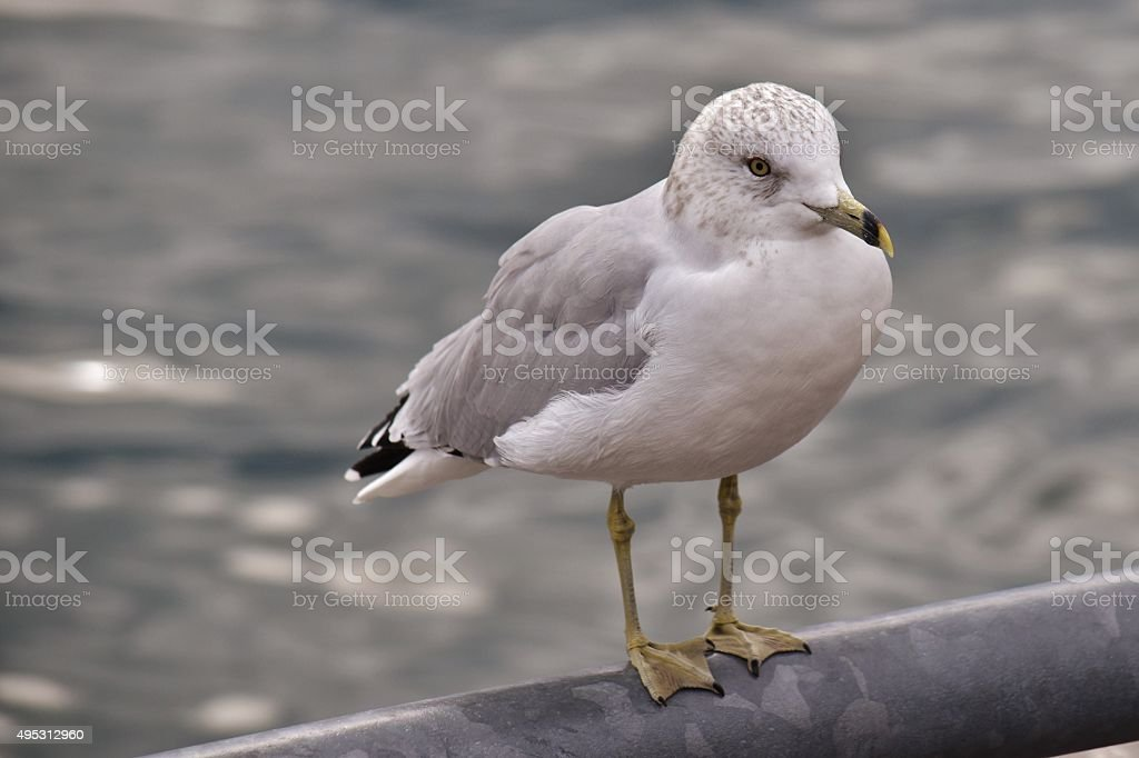 Seaside - Common Gull stock photo