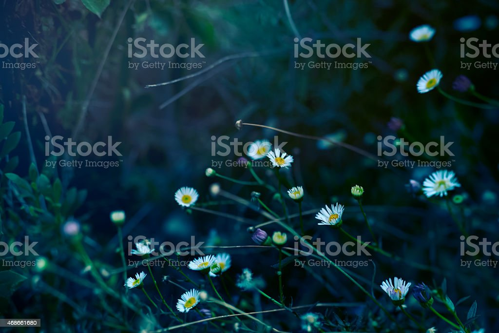 Seaside Daisy stock photo