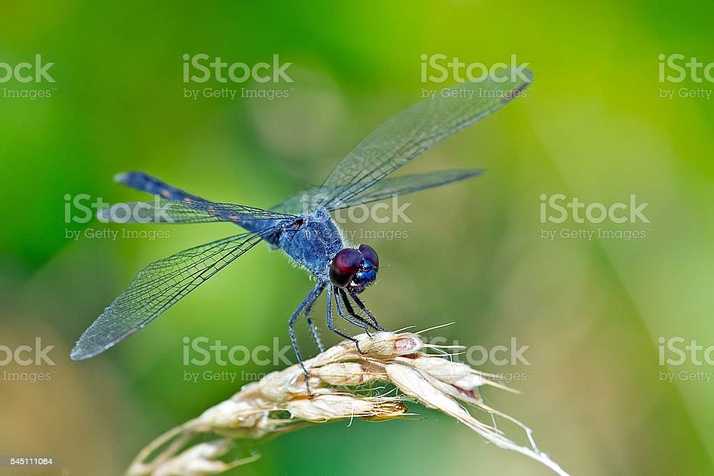 Seaside Dragonlet Dragonfly stock photo