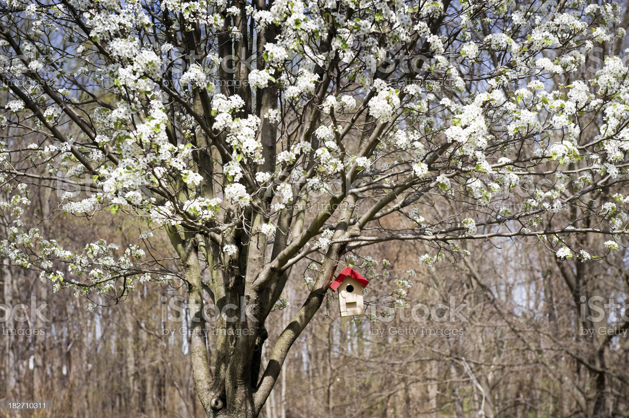 Season Change  - Blooming Pear Tree and Bird House royalty-free stock photo