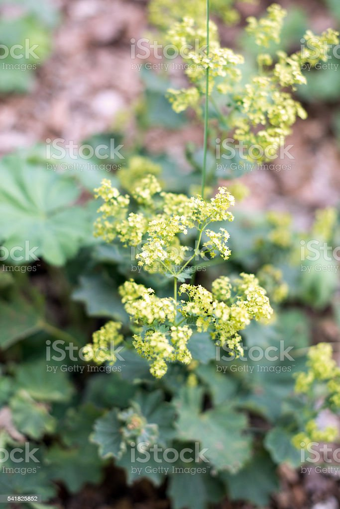 Seasoning herbs and spices: Alchemilla mollis 'Auslese' (Lady's mantle) stock photo