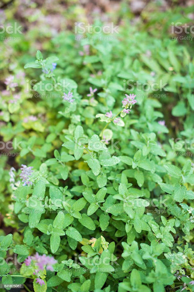 Seasoning herbs and spices: Nepeta racemosa 'Grogg' (dwarf catmint) stock photo