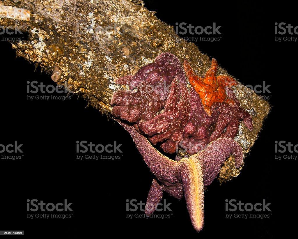Seastar hanging from beam stock photo