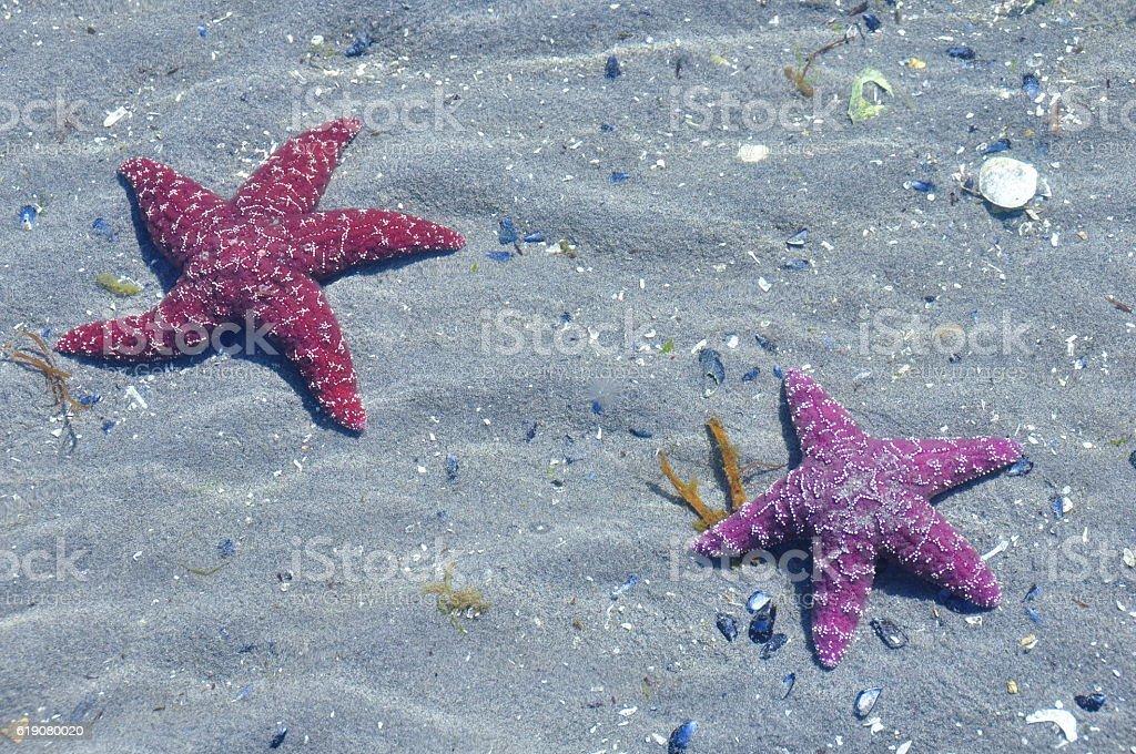 Seastars on the beach stock photo