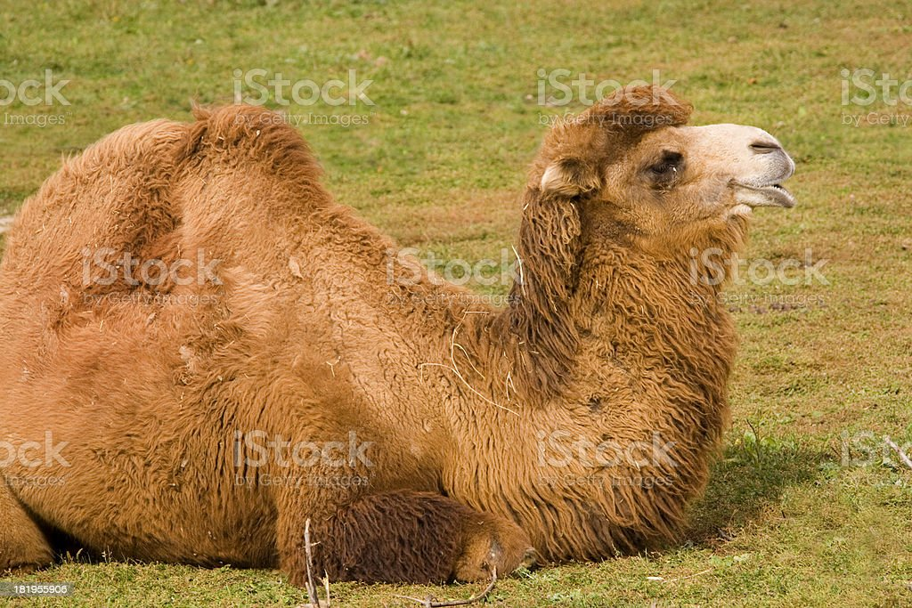 Seated Bactrian Camel royalty-free stock photo