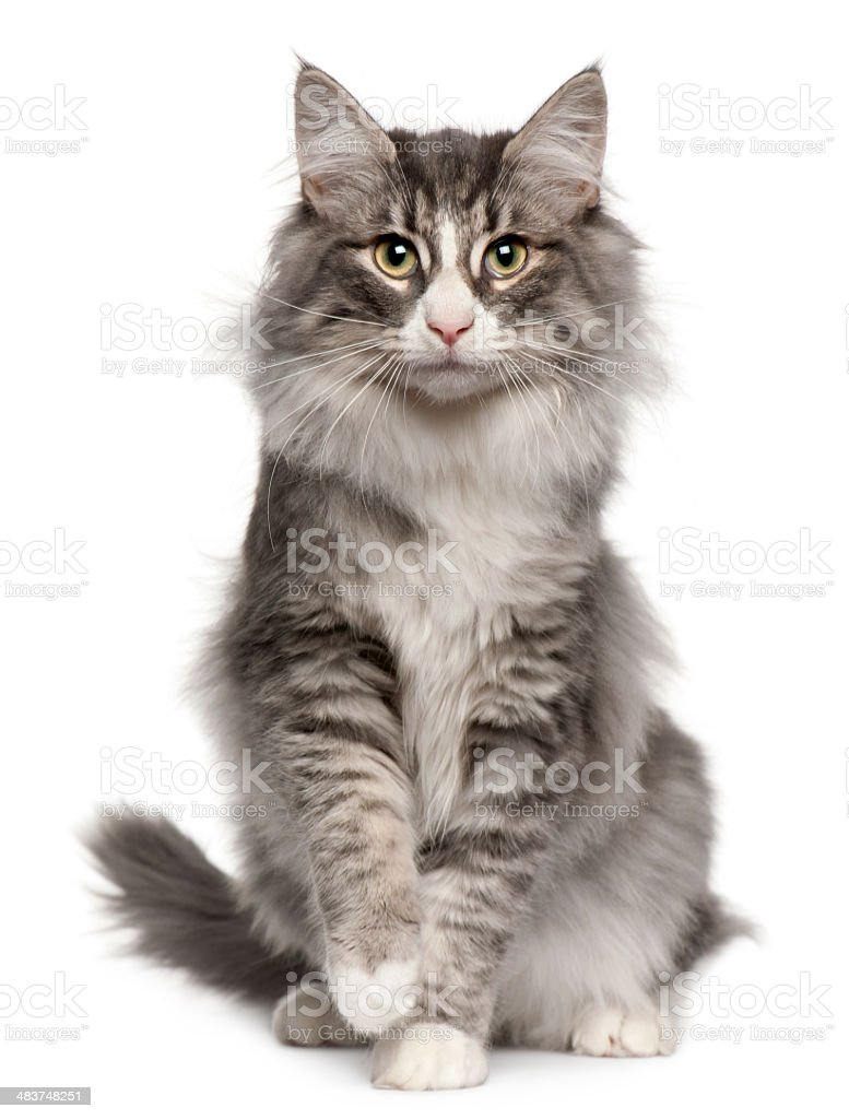 Seated gray and white Norwegian Forest cat stock photo