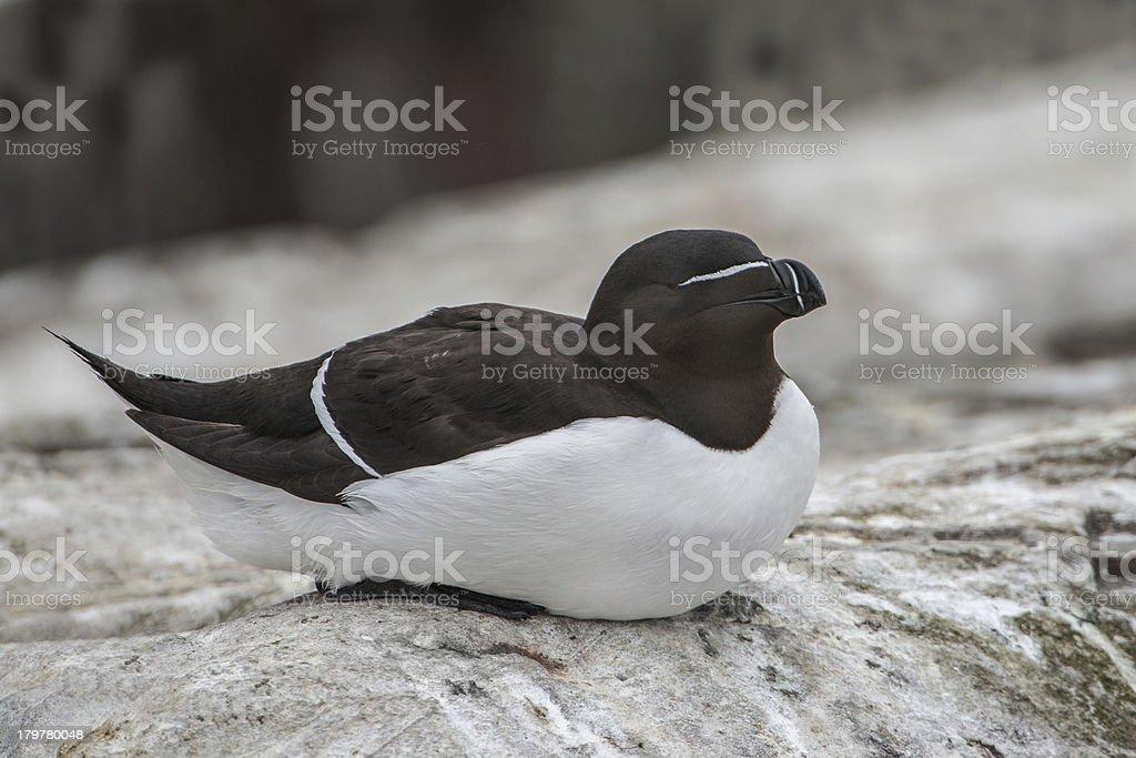 Seated Razorbill (Farne Islands, UK) royalty-free stock photo